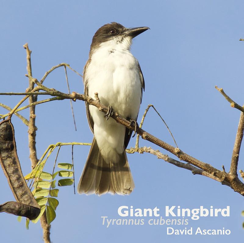 Giant Kingbird, Tyrannus cubensis_199A1655