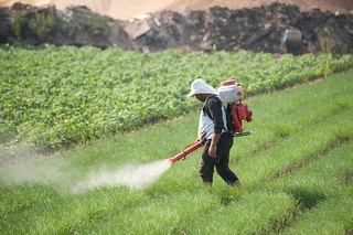 Farmer spreading pesticides for onion | by IWMI Flickr Photos
