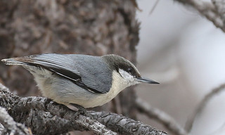 Pygmy Nuthatch | by IsaacCSanchez