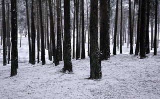 Pine trees in the snow | by Simon Verrall