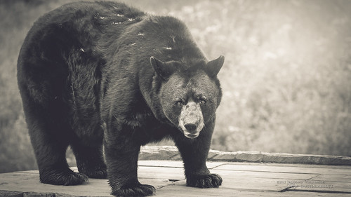 summer bw ontario canada monochrome animal fur pembroke eyecontact quebec bokeh wildlife son handheld fullframe blackbear parcomega petawawa rawpower 2015 papineauville canoneos6d canonef70300mmf456lis thousandwordimages dustinabbott dustinabbottnet adobelightroom5 adobephotoshopcc alienskinexposure7