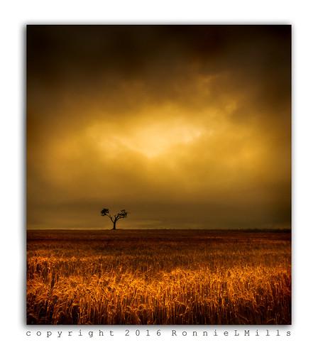 rihanna tree barley field early morning