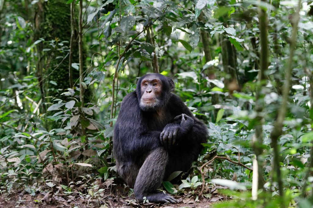 photo of chimpanzee
