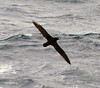 White-chinned Petrel by upperwinskill