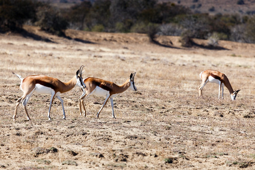 africa landscape sunset nature easterncape animal southafrica grass wild wildlife tree travel national african beautiful sky park colorful springbok love background cradock zaf