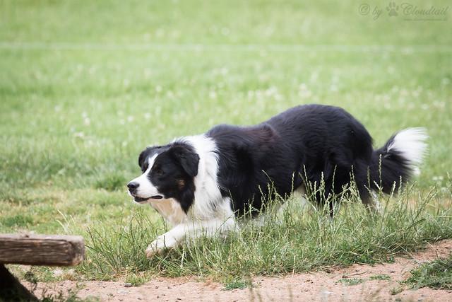 Herding dog at work