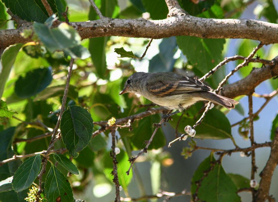 Fuscous Flycatcher (Cnemotriccus fuscatus)