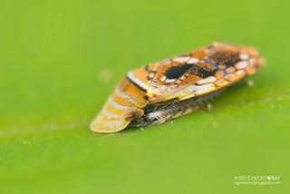 Deltocephaline leafhopper (Uzelina sp.) - DSC_7129