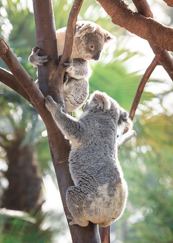 Koalas, San Diego Zoo | by daverodriguez