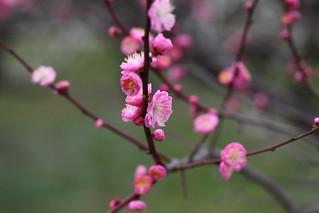 Prunus mume | by eyawlk60