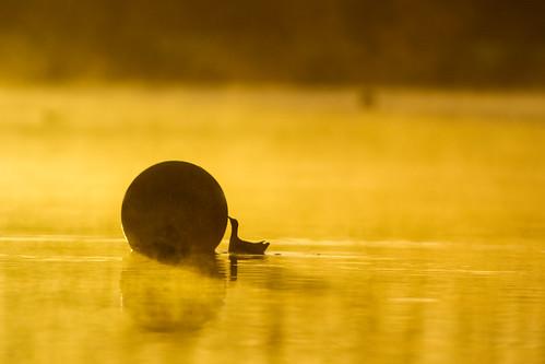 bird sunrise canon golden sigma 300mm hour 7d f28 hertfordshire herts welwyngardencity stanboroughlakes