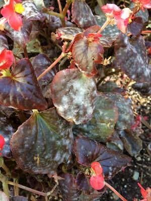 Begonia: Powdery mildew