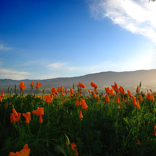 California Golden Poppies | by vision63