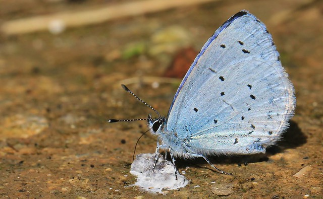 Holly Blue - Martin Down reserve Hampshire - 060816 (3)