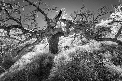 arizona usa az infrared hereford cochisecounty anivacachi quercusarizonica arizonawhiteoak