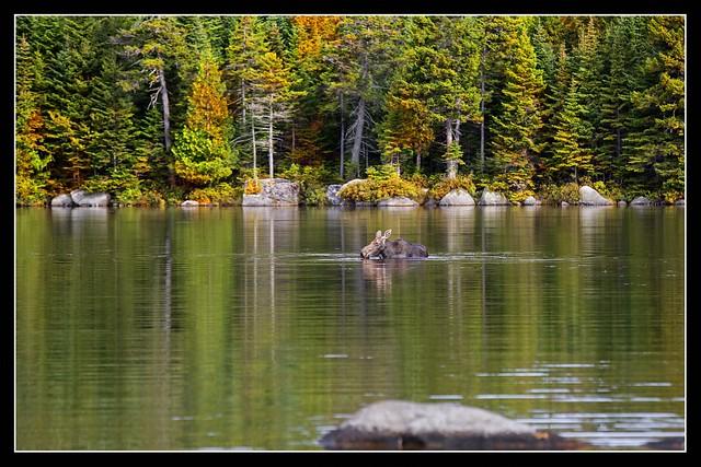 Autumn Moose...