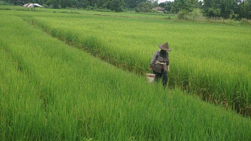 thainland rice paddies
