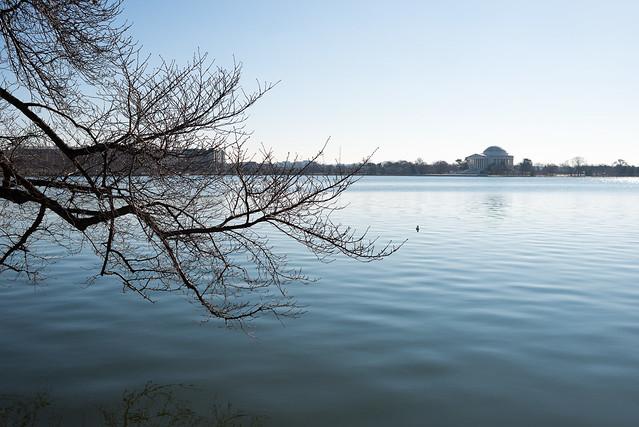 Washington DC Cherry Blossoms - February 11, 2015