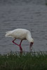 African Spoonbill by sr667