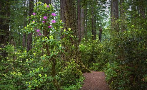 california trees nature landscape redwoods