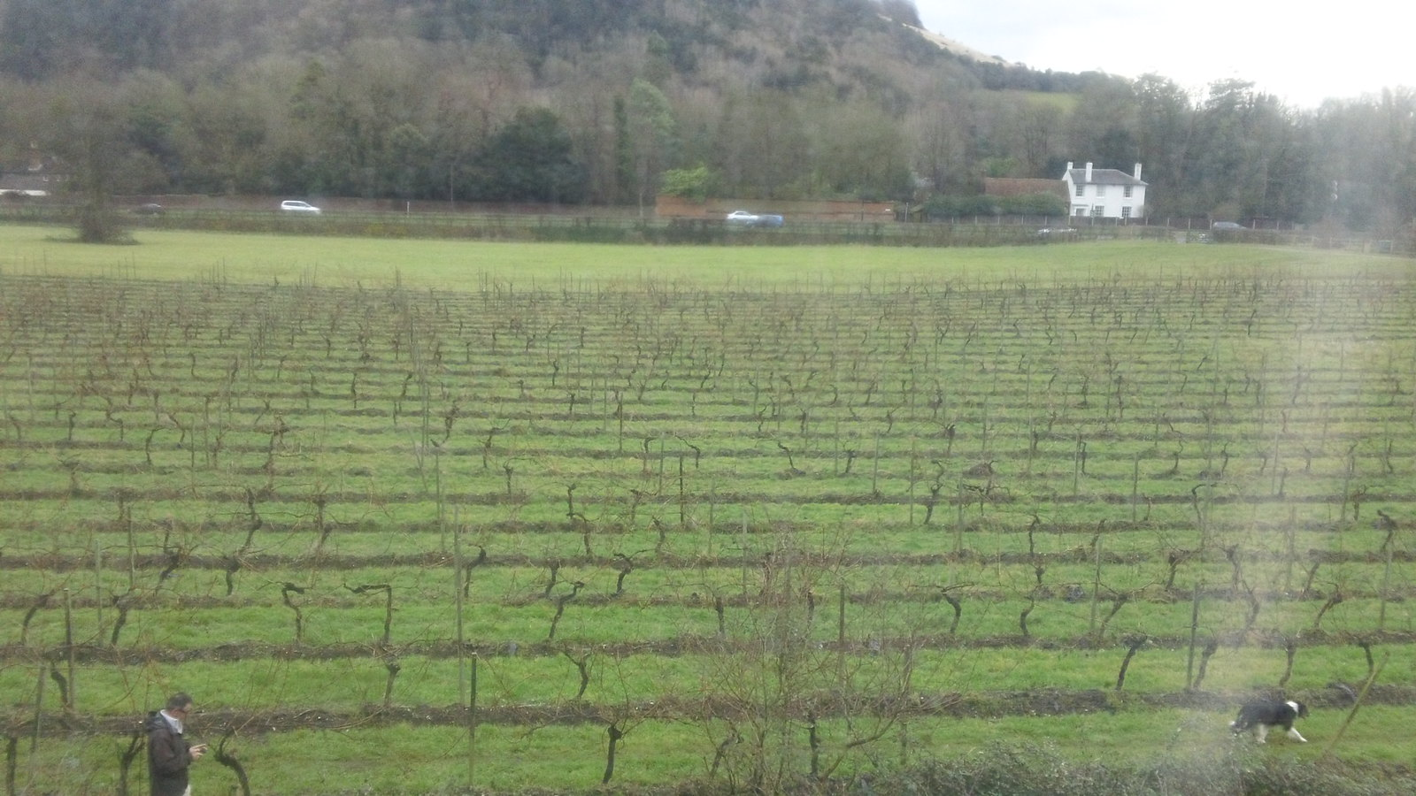 View of vineyards & Boxhill from train