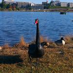 Black Swan is looking at me