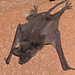 Murciélagos Rabones - Photo (c) Bernard DUPONT, algunos derechos reservados (CC BY-SA)