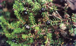 Empetrum nigrum black crowberries. Bondhusbre