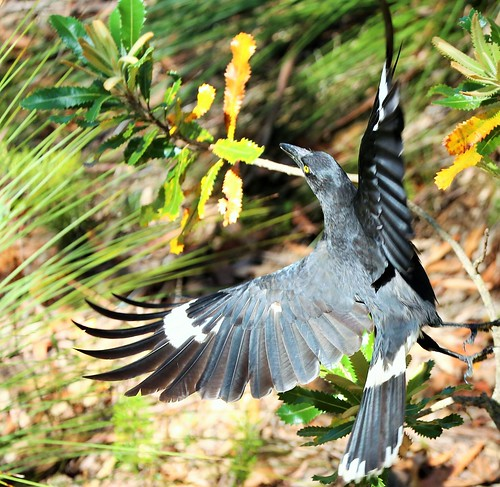 Currawong in flight - Wentworth Falls, Blue Mountains | by neeravbhatt