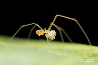 Daddy-long-legs spider (Belisana sp.) - DSC_3055
