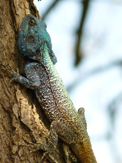 Tree Lizzard | by guba.swaziland