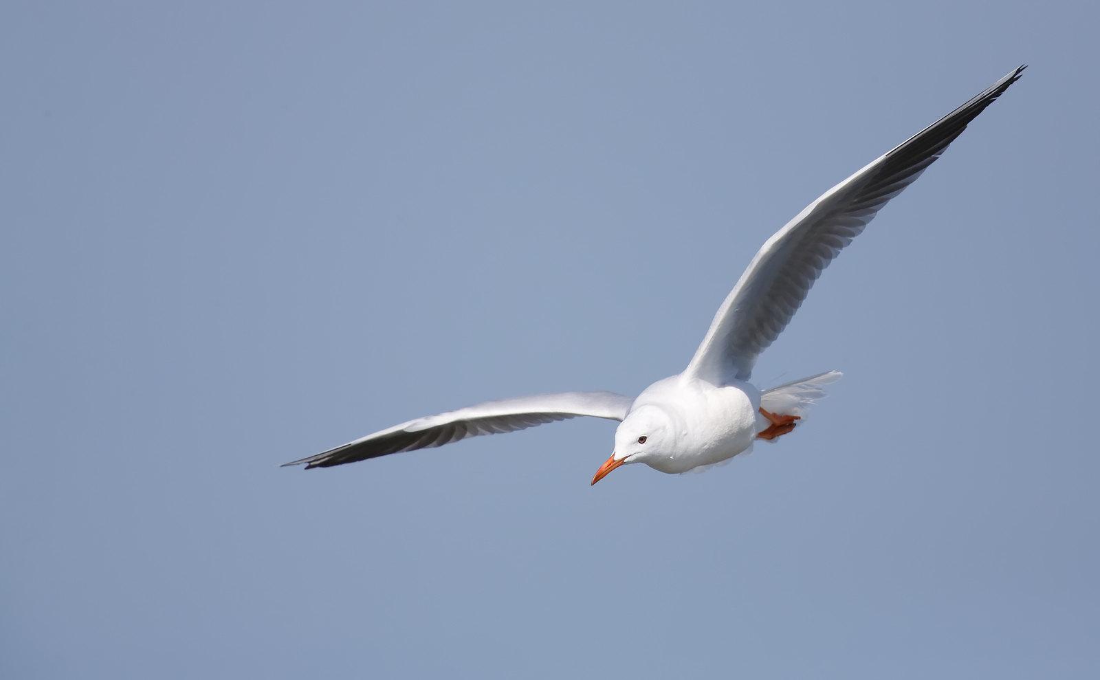 Slender Billed Gull
