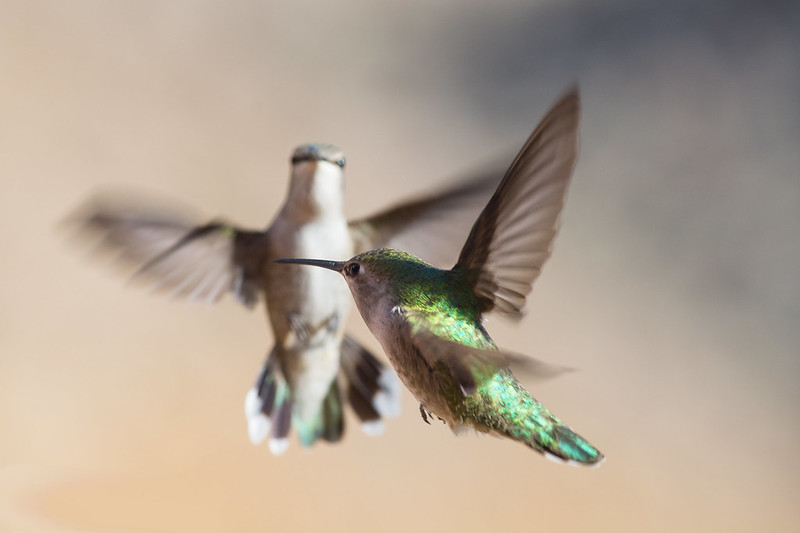 Green Humming Birds in flight