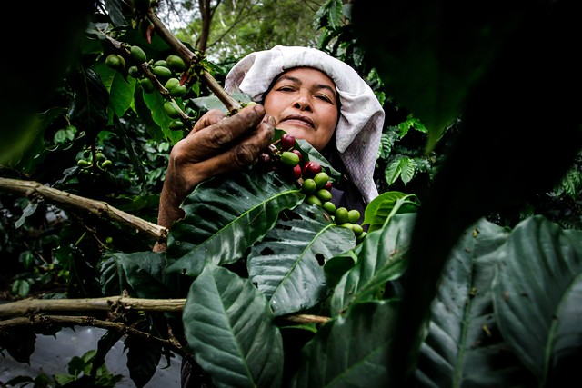 Picking coffee beans for supporting her family