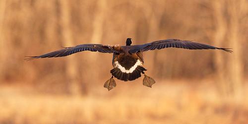 y6a3785dxosrgb goose canadiangoose bif birdinflight flight flying waterbird landing cherrycreekstatepark colorado usa allrightsreserved copyright2015davidcstephens dxoopticspro101 pixelpeeper dxo getty
