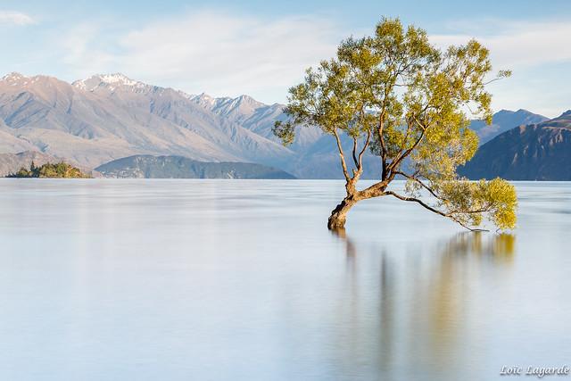 Lone Tree on Lake Wanaka