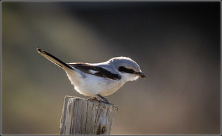 Great Grey Shrike (Northern) Explored 10/2/2015 | by Smudge 9000