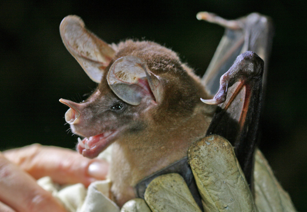 Great False Vampire Bat [Spectral Bat]