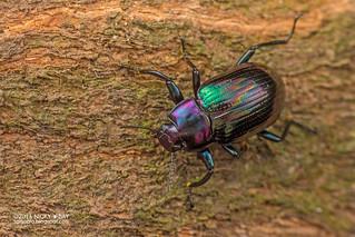 Darkling beetle (Phaedis sp.) - DSC_8273