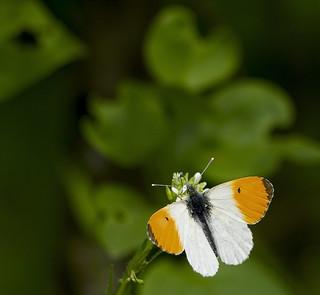 Зорька (Аврора) / Orange Tip / Anthocharis cardamines  / Кардаминова пеперуда / Aurorafalter