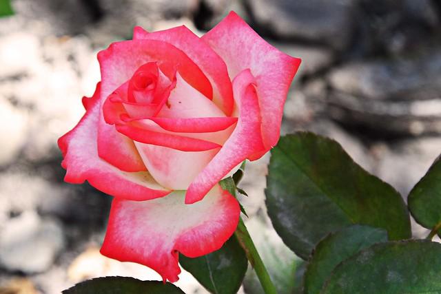 Rosas. Cultivadas en la Universidad EAFIT