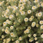 Featherhead 絨頭石南茶 Phylica pubescens 石南茶屬