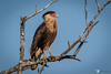 Crested Caracara by Chasing Photons