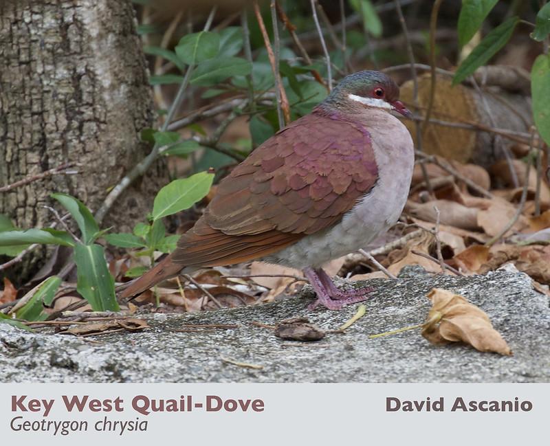 Key West Quail-Dove, Geotrygon chrysia_199A1338