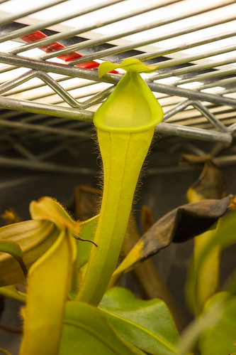 Nepenthes chaniana BE tc
