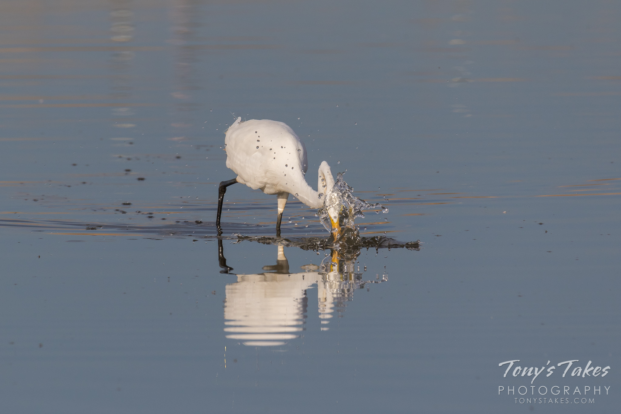 Great Egret nabs a small meal