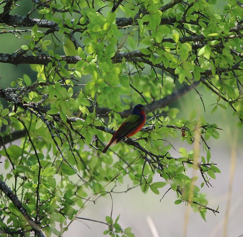 Painted Bunting Ft Worth Nature Center 5-18 | by johnd1964
