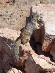Grand Canyon - South Kaibab Trail, squirrel at Skeleton Point