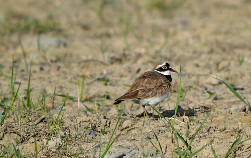 Little ringed plover / Pikkutylli #Finland #Spring | by L.Lahtinen (nature photography)