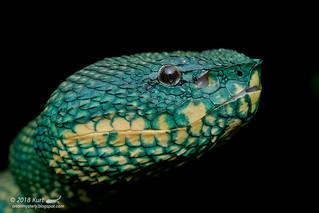 Tropidolaemus subannulatus_MG_9715 copy | by Kurt (OrionHerpAdventure.com)